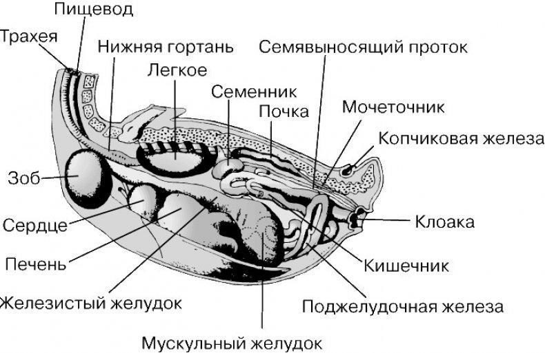 утка, плавать, строение, тело