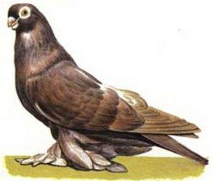 Армавирские голуби разновидность породы и их характеристика