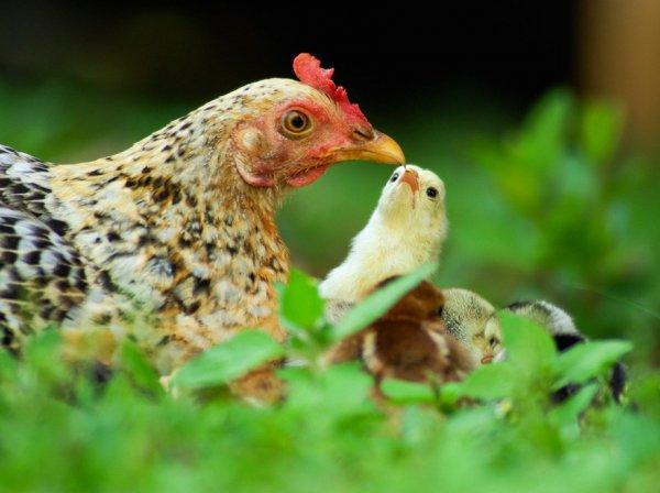 Когда цыплят можно выпускать на улицу