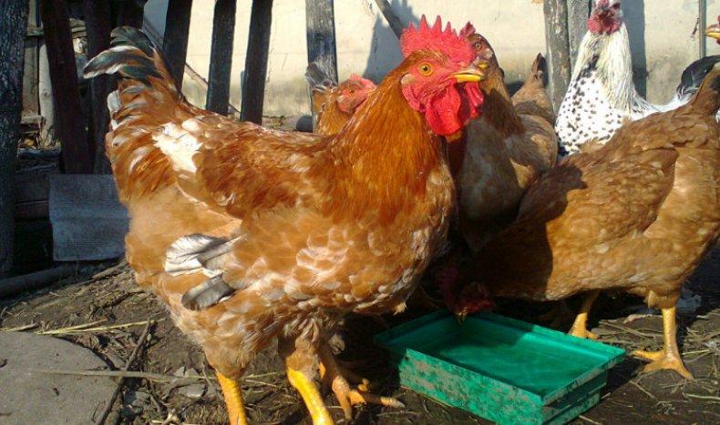 Курицы Фокси Чик