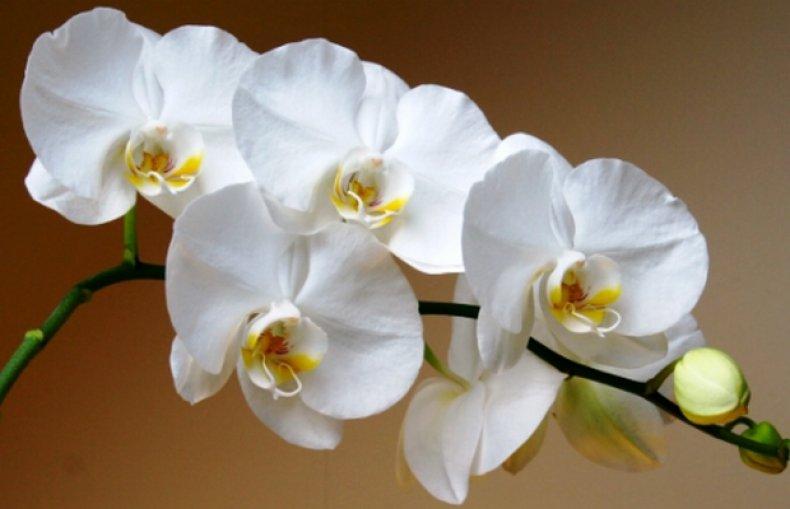 сорт, орхидея, apple, blossom, уход