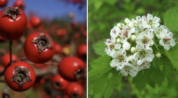 Ягоды и цветки боярышника