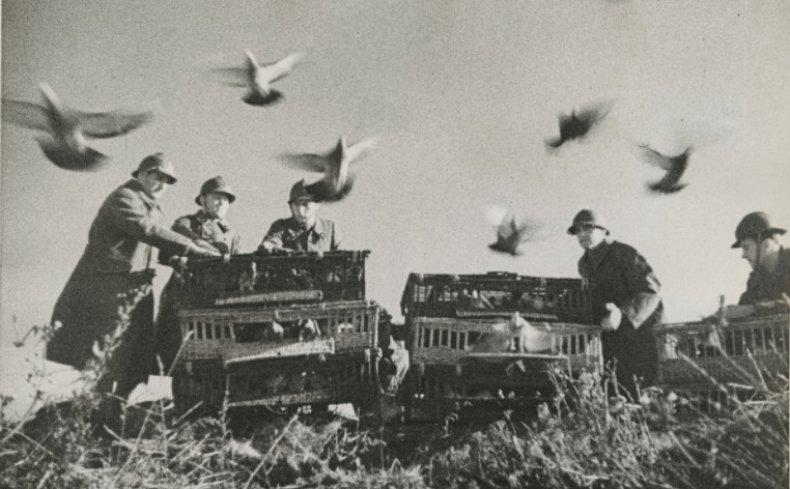 Почтовые голуби Первой мировой войны