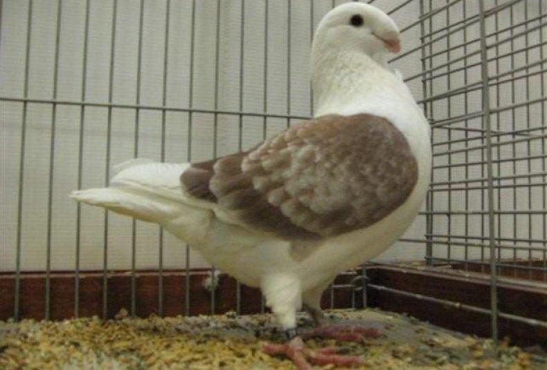 Антверпенский почтовый голубь