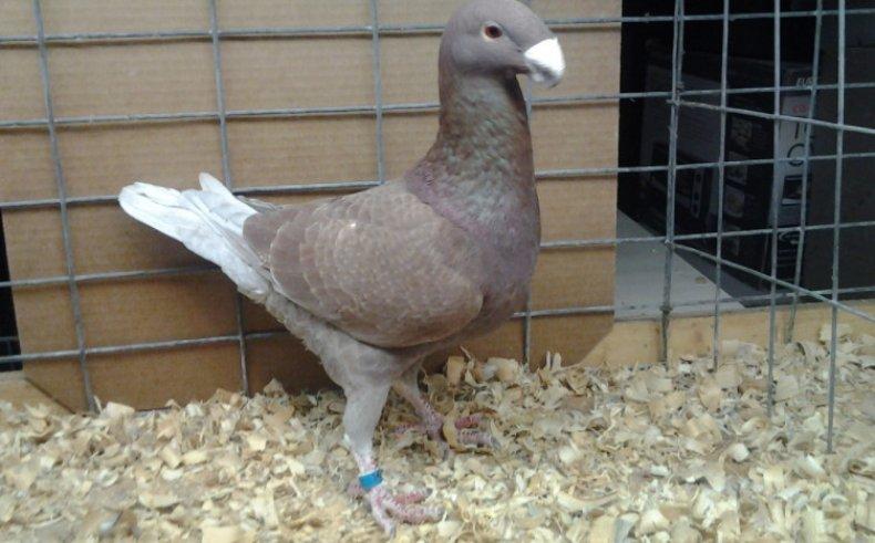 Немецкий выставочный голубь