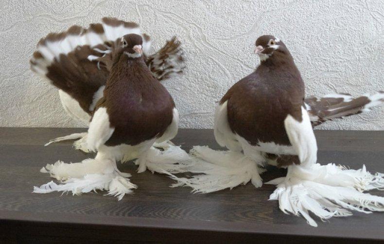 статный, голубь, характерный, статных голубей, делят подгруппы, ниже хвоста