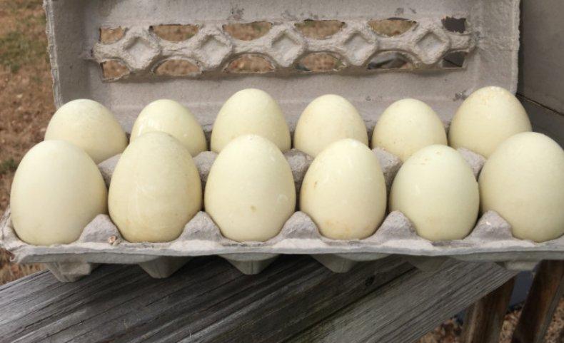 Яйца индоутки