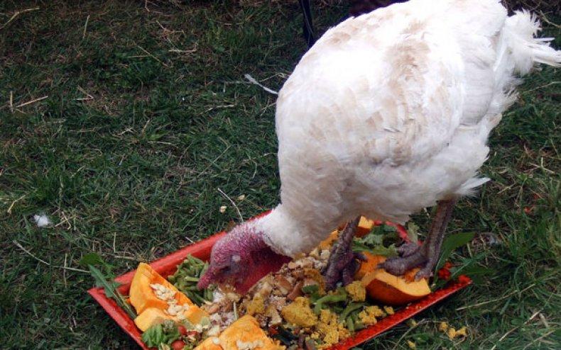 Кормление индюшат овощами
