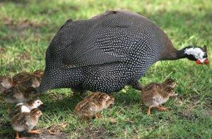 Цыплята цесарки