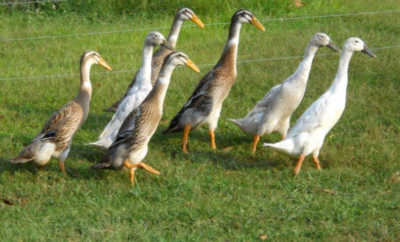 утка, индийский, бегун, бегунок, описание, фото