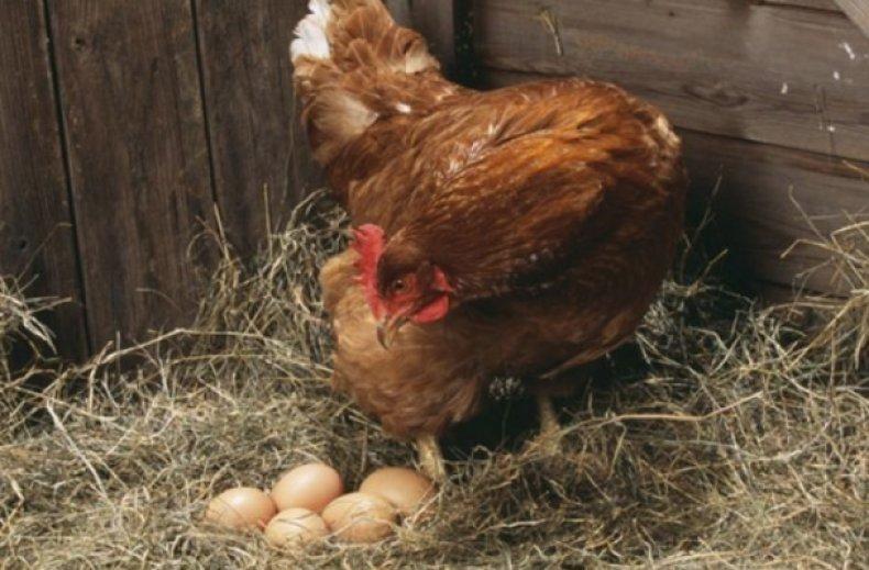 курица, высиживать, яйцо, подготовительный, стадий