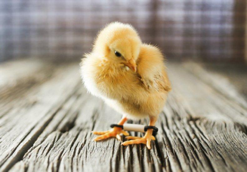 Коррекция шпагатика у цыпленка