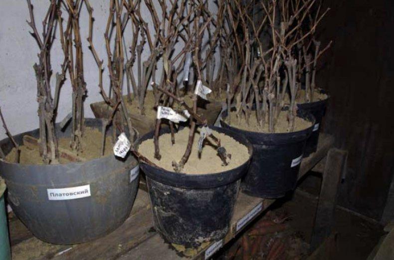 Хранение черенков в подвале