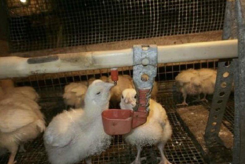 пропойки, цыпленок, антибиотик, витамин