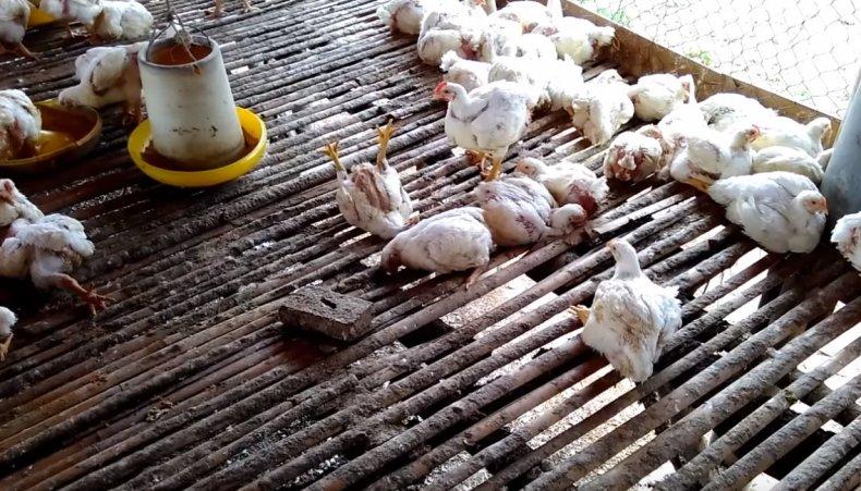 Больные цыплята