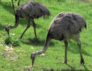 Питание страусов
