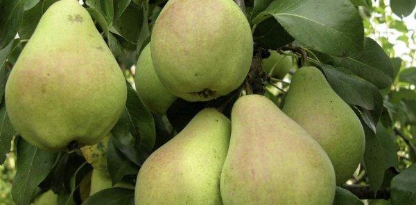 Высокоурожайный сорт груши Велеса советы по выращиванию