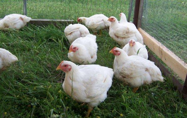 Цыплята бройлеры выращивание новейшие технологии