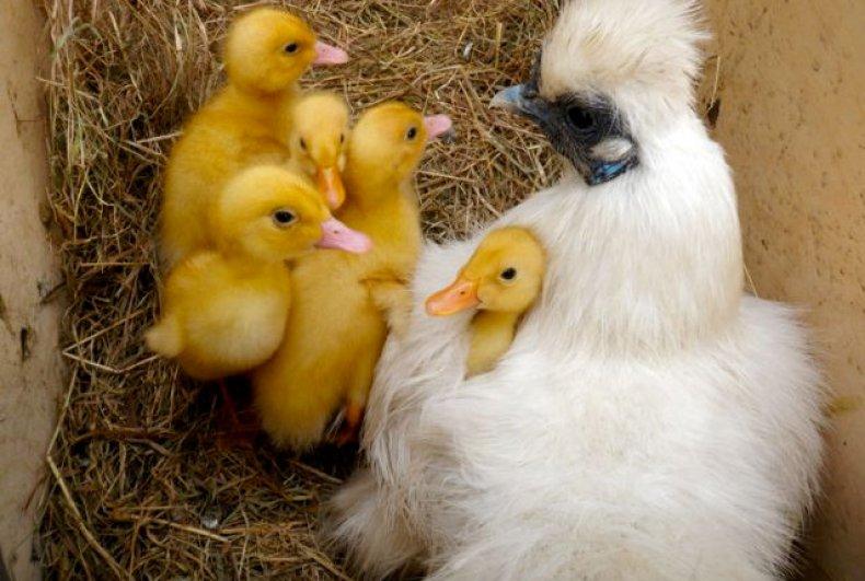 Материнский инстинкт курицы силки
