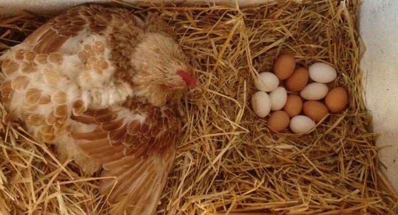 курица, высиживать, яйцо, 15–20 минут, вывода цыплят, выходила прогулку