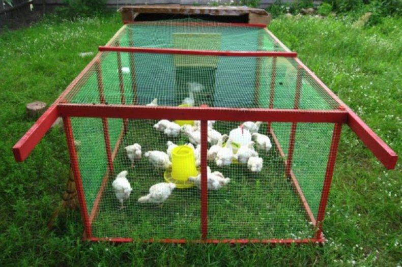 Выгул бройлерных цыплят