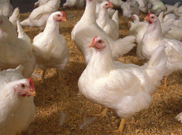 Премиксы для кур, цыплят: что это такое, как применять витаминные добавки
