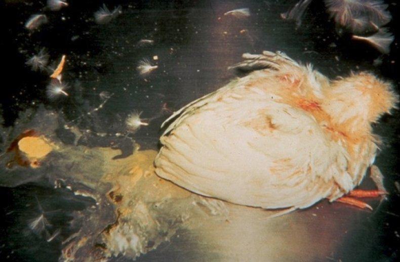 Болезнь Гамборо у курей симптомы и лечение