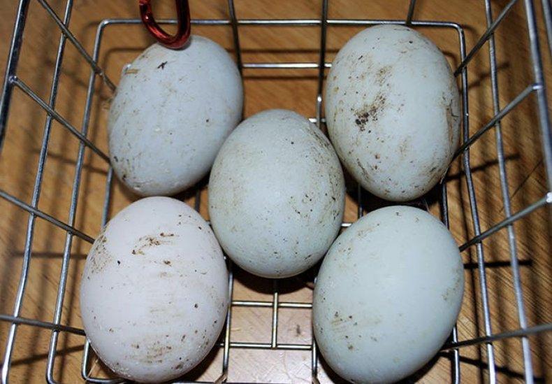 Грязные яйца в инкубаторе
