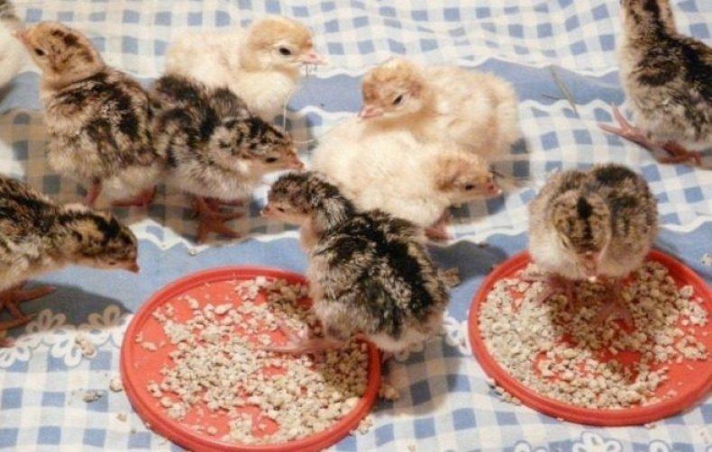 фуразолидон, цыпленок, бройлер, инструкция, дозировка, вероятность проявления