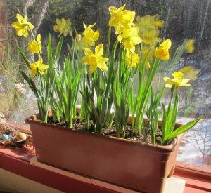 выращивание, нарцисс, домашний, материал посадки, выращивания дома, посадки ухода