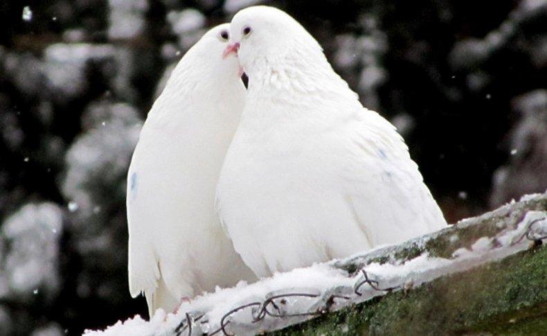 содержание, голубь, домашний, уход, кормление, спортивных голубей