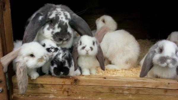 Кролики французский баран: отзывы, разведение, уход, особенности породы, правила кормления и описание с фото