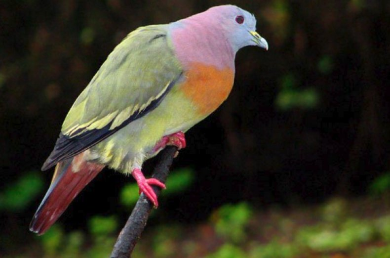 Зелёный розовошейный голубь