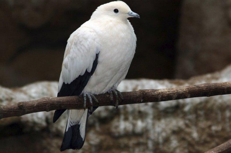 Двухцветный фруктовый голубь