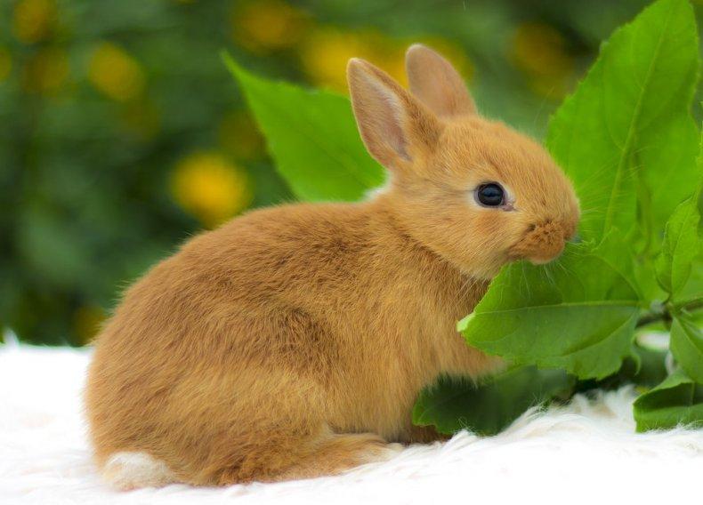 Цветной карликовый кролик