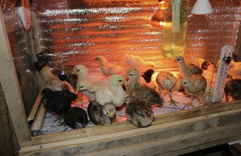 Содержание цыплят в брудере