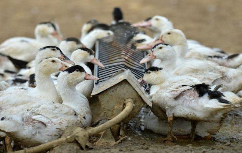 Бройлерные утки