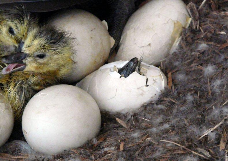высиживать, яйцо, гусыня, гусенок, высиживания птенцов, времени высиживает