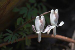 Дицентра малоцветковая