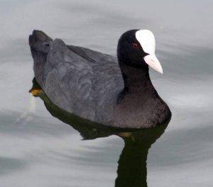 Чёрная утка