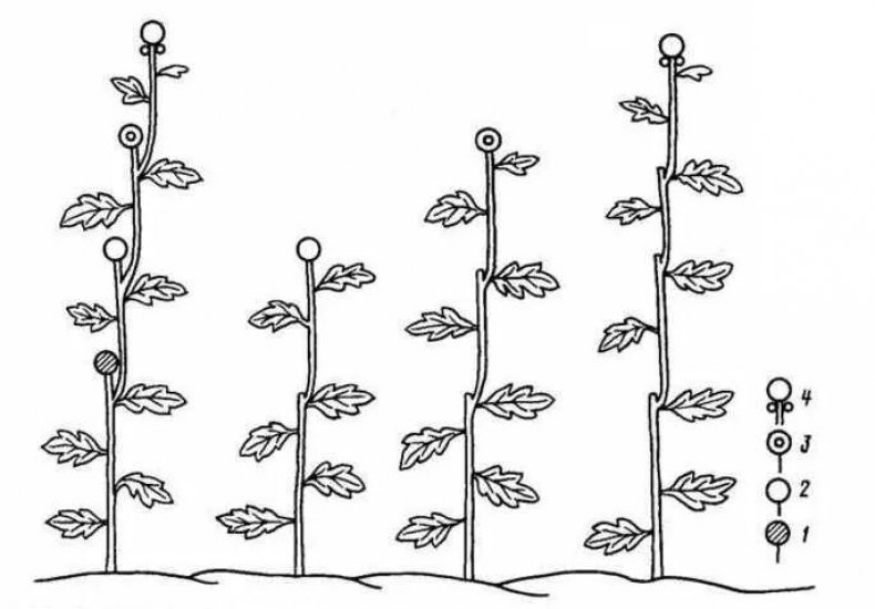 схема формирования бутонов у хризантемы