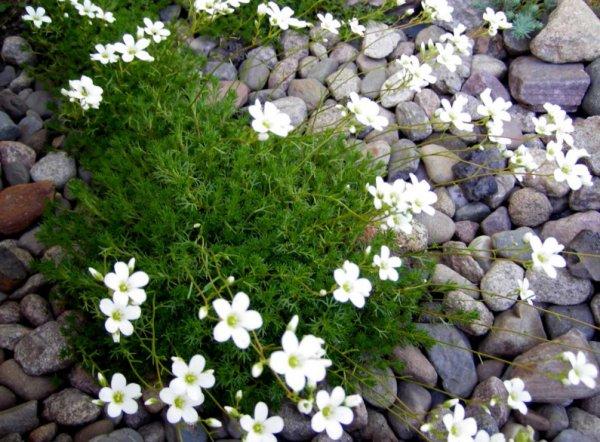 Камнеломка выращивание из семян 44