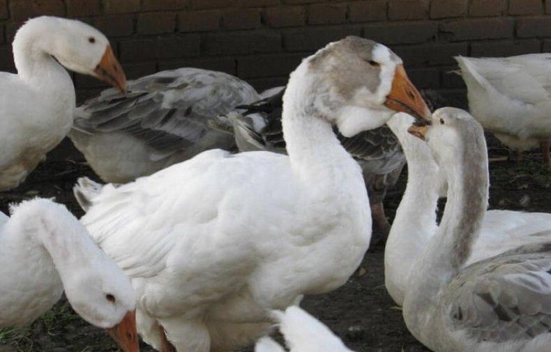 Понос у гусей лечение народными средствами thumbnail