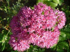Очиток пурпурный: какими лекарственными свойствами обладает растение