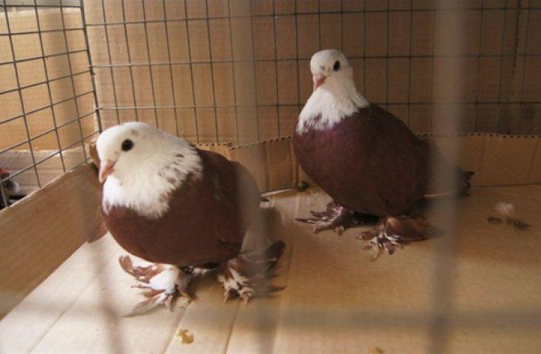 Благодарненские голуби описание, фото, содержание и уход