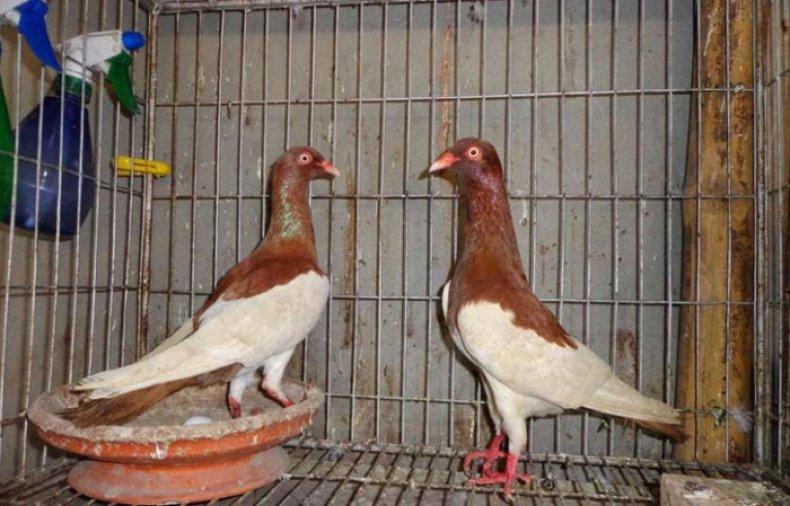 Клеточное содержание голубей