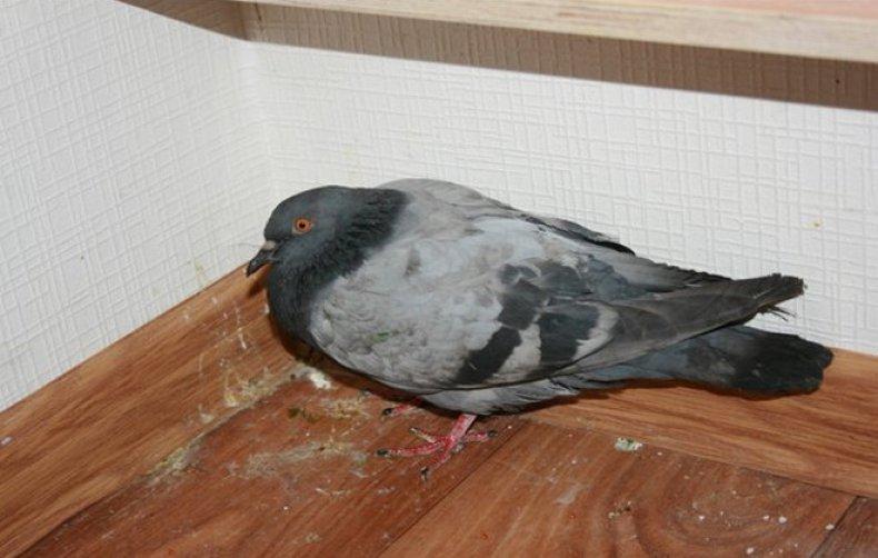 Можно ли излечить последствия болезни ньюкасла у голубей
