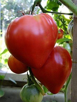 Плоды большие и вкусные