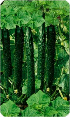 Длина плодов достигает 50 см