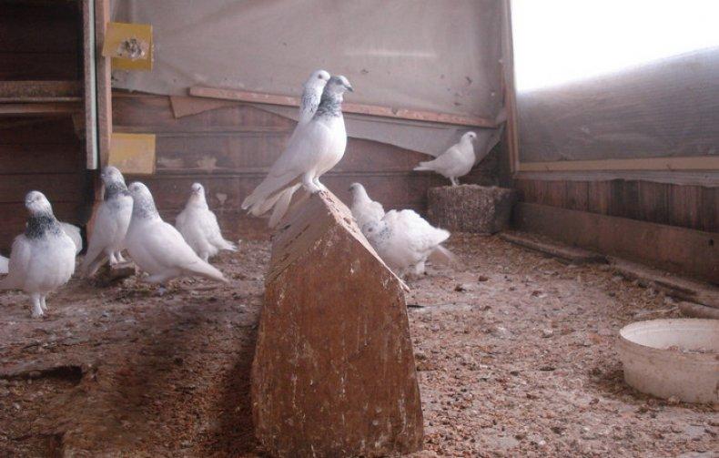 Венгерские высоколётные голуби